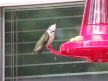 Hummingbird having a drink