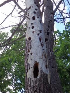 Woodpecker's handy work