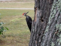 Canadian woodpecker at Bells Point Beach Campsite