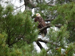 Bald eagle sitting in a tree next to our tent