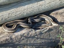 Garter snake (Strumpfbandschlange) on Fieldstone Campground