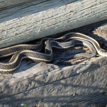 Garter snake (Strumpfbandschlange) on Fieldstone Campground