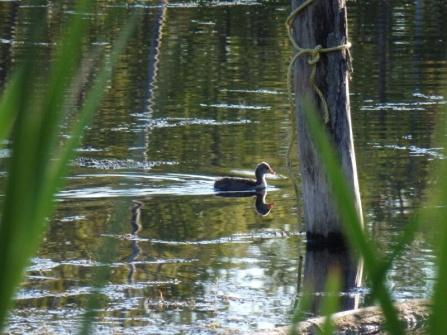 Duck on Fieldstone Campground in Moosomin