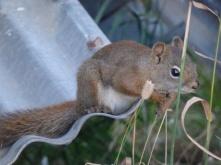 Squirrel in Reno