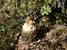 Beaver's handy work