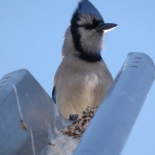 Blue jay in Reno