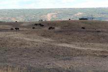 Bison on Brad's farm in Peace River