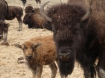 Bison calf with mom