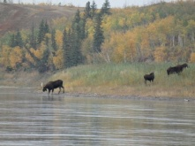 A family of moose