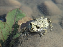 Canadian frog