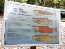 Salmon types found in the Goldstream river