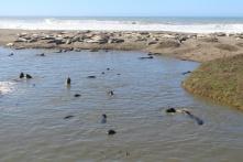 Seals and Elephant Seals in Big Sur