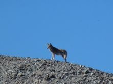 A wolf?.. Coyote? walking along a ridge above us