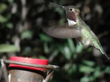 Humming bird at the Desert Museum Tucson
