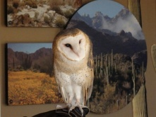 An Owl at the desert museum Tucson