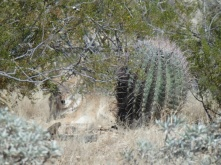 A coyote having a rest at the desert museum Tucson