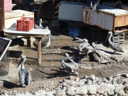 Pelicans in San Carlos