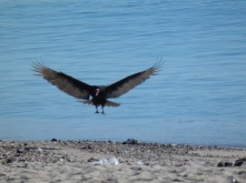 Vulture on the beach san carlos