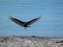 Vulture on the beach san carlos