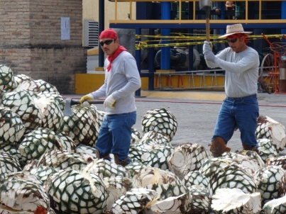 Agave cutting at Jose Cuervo