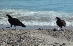 Vultures (Geier) at the beach in San Carlos