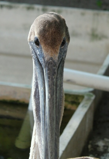 Pelican, El Salvador