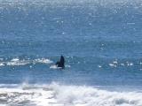 Dolphin, El Salvador beach