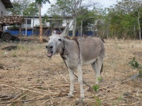 Donkey at Bayado's place