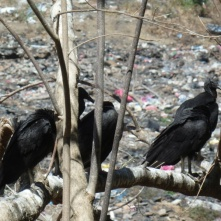 Vulchers at a rubbish dump, near San Juan del Sur