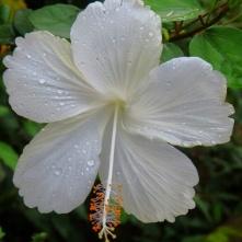 Hibiscus plant, Rio Celeste