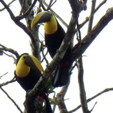Black-mandibled Toucans, near La Fortuna (Goldkehltukan)