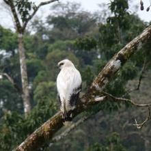 White hawk, near La Fortuna (Weisser Falke)