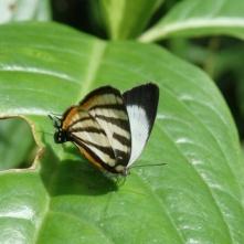 Arawacus butterfly, Tenorio Volcano National Park