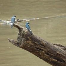 Blue swallows, Cano Negro (Schwalben)