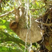 Sloth, Cano Negro (Faultier)