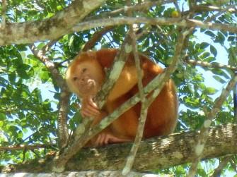 Albino howler monkey, Cano Negreo