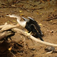 Anhinga - Snakebird (Schlangenhalsvogel)