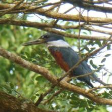 Kingfisher, Cano Negro (Eisvogel)