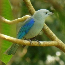 Blue-ray Tanager, La Fortuna