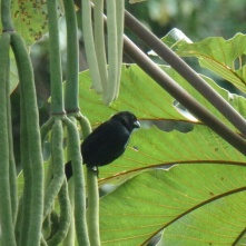 Blue-black Grassquit, La Fortuna (Kubafink)