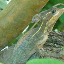 Basilisk lizard, Manzanillo beach (Basilisk)