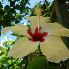 Tropical hibiscus flower