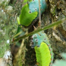 Limacodidae caterpillars, Puerto Viejo (Raupen)