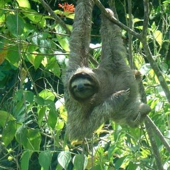 Sloth, Punta Uva