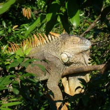 Iguana, near Cano Negro (Leguan)