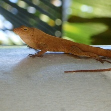 Lizard, Puerto Viejo