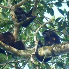 Howler monkeys, Punta Uva