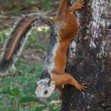 Variegated squirrel, Samara beach