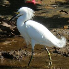 Snowy egret, Manzanillo beach (Schmuckreiher)