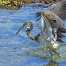 Heron, Puerto Viejo (Reiher)
